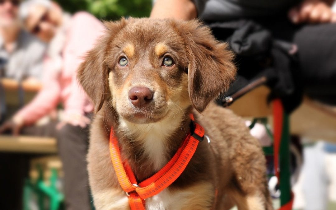 Leash Training Your Puppy